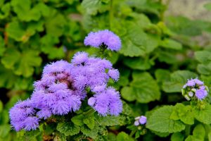 Ageratum by lawout16