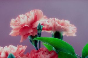 Carnation by Lillian-Bann