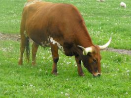 Stock: Bull V by Stock-By-Michelle