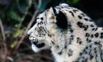 Snow Leopard II by DrNoVodka