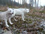 Two polar wolves 2 by spiritdaughter