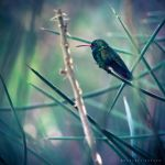 Glittering-bellied emerald by Cochalita