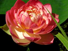 Blooming Water Lotus by Michies-Photographyy