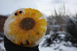 Frozen Sunflower in my Garden by KeswickPinhead