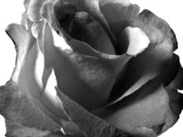 Rose black and white by littlebird56