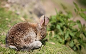 tired little bunny by KariLiimatainen