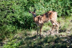 ...then came the fawn... by imonline