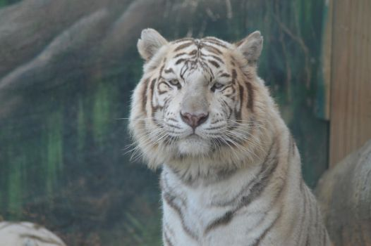 White Tiger 2 by decolesse-stock