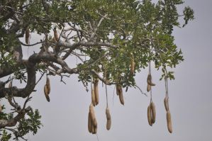 sausage tree by jynto