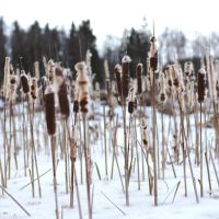 Typha latifolia #4 by perost