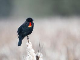 Red-winged Blackbird Vl by deseonocturno