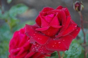 Rose Red IV by FallowpenStock