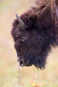 Plains Bison-Tender by JestePhotography