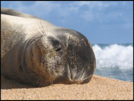 sleeping seal 1 by RandyHand