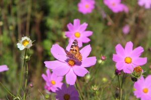 Butterfly on Cosmos 2 by African-Amber