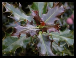 Shaded Holly by waterrat
