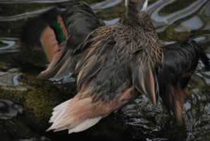 bahama pintail 1.3 by meihua-stock