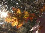 Oak Leaf at Sunset by 4TheLoveOfNature