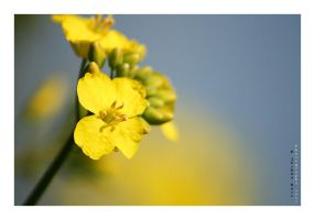 Rapeseed II by JRose-Photography
