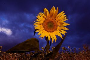 Sunflower by entp