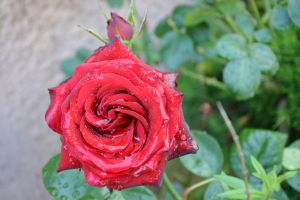 Red roses after rain by A1Z2E3R