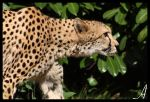 On The Prowl by Alannah-Hawker