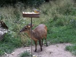 muntjac and the bird by RatteMacchiato
