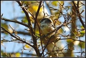 Long tailed Tit by Balto-Wolf