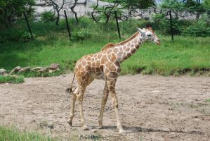Giraffe 1 by devins-stock