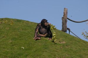 Chimpanzee VI by expression-stock