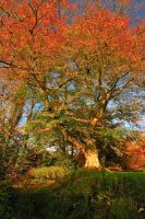 Belvoir Tree, Mid Autumn by Gerard1972