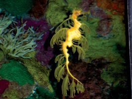 Seaworld Stock  Sea Dragon by FairieGoodMother