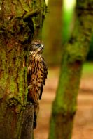 Goshawk Hiding by Shadow-and-Flame-86