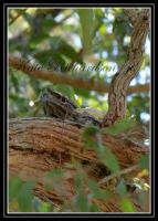 Tawny Frog mouth nesting by Purple-Dragonfly-Art