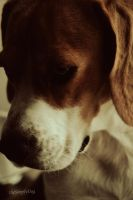 sad Beagle by thesimplyLexi