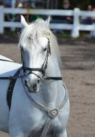 Lipizzaner Stallions 9 by Lauren-Lee