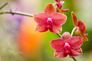 .:Orchid I:. by RHCheng
