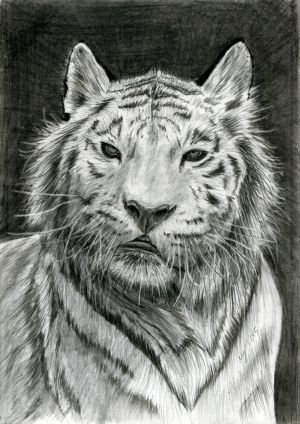 Bengal Tiger by dimasbka
