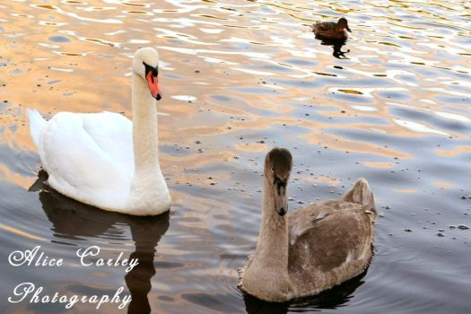 Swans by alicecorley