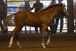 STOCK - 2014 Welsh QLD Show-91 by fillyrox