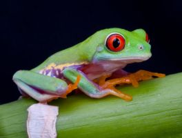 Red eyed tree frog stock by A68Stock