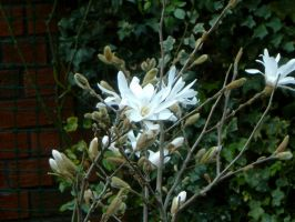 "Magnolia Stellata ""Royal Star"" by TheSilverLotus"