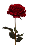 Rose PNG by PiXasso79-Stock