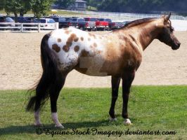 Appaloosa 1 by EquineStockImagery
