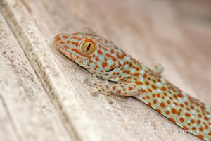 Tokay Gecko by melvynyeo