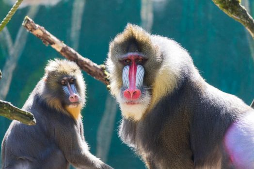 Mandrill by paschlewwer