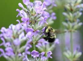 Busy-bee by photogatlarge
