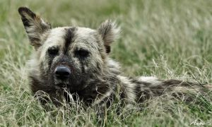 African Wild Dog by AnneMarks