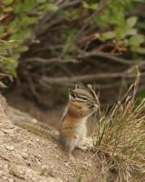High Altitude Chipmunk by queegqueg