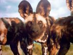African Wild Dog by RemnantMemory